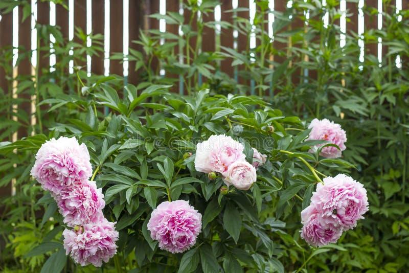 Bloeiende struik roze peonyies in de de zomertuin stock fotografie