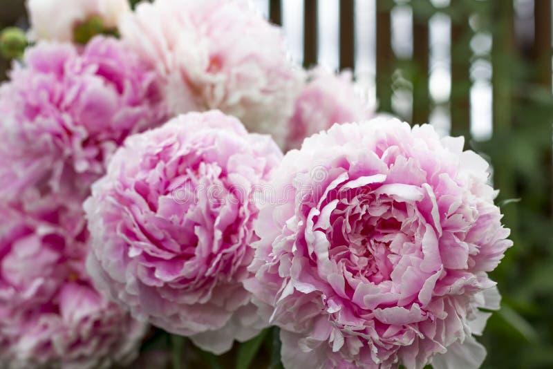 Bloeiende struik roze peonyies in de de zomertuin royalty-vrije stock afbeelding