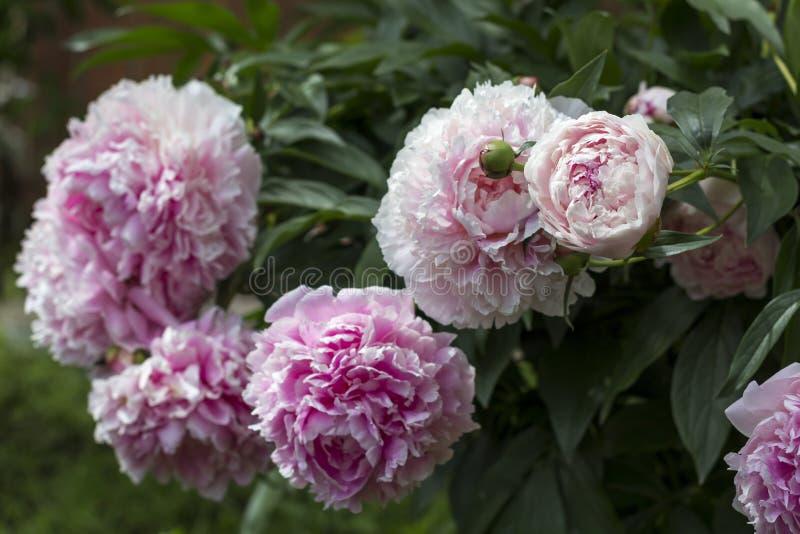 Bloeiende struik roze peonyies in de de zomertuin royalty-vrije stock afbeeldingen