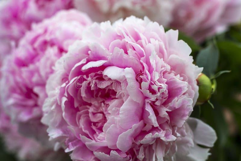 Bloeiende struik roze peonyies in de de zomertuin stock foto's