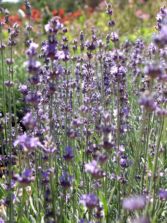 Bloeiende struik van lavendel stock foto