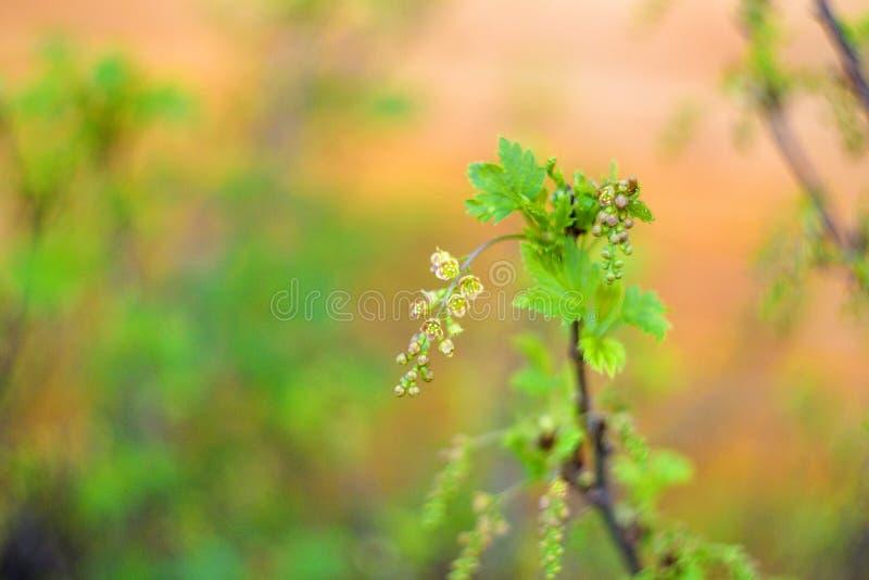 Bloeiende struik van rode aalbes met groene bladeren in de tuin stock afbeeldingen