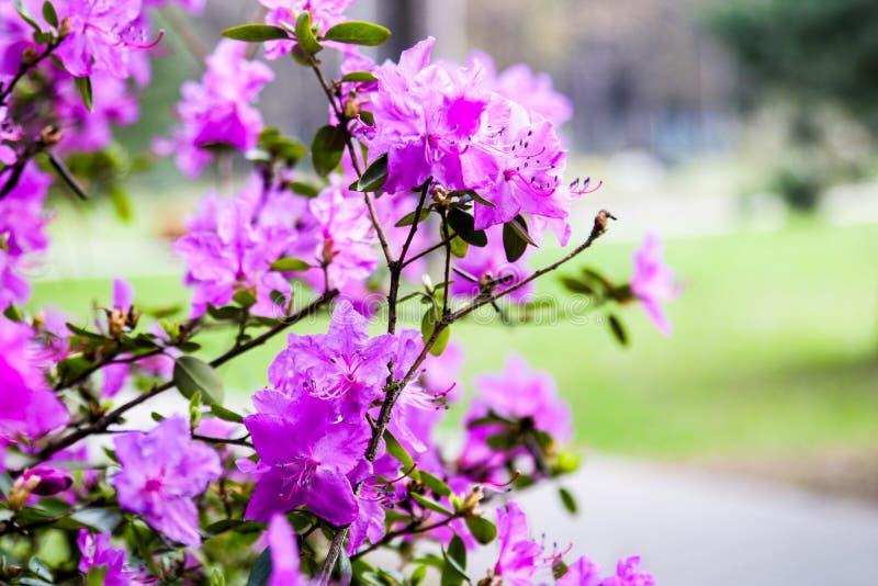Bloeiende struikrododendron Roze bloemen van rododendron Het planten, zorg en cultuur van rododendron De lente Park, tuin royalty-vrije stock afbeeldingen