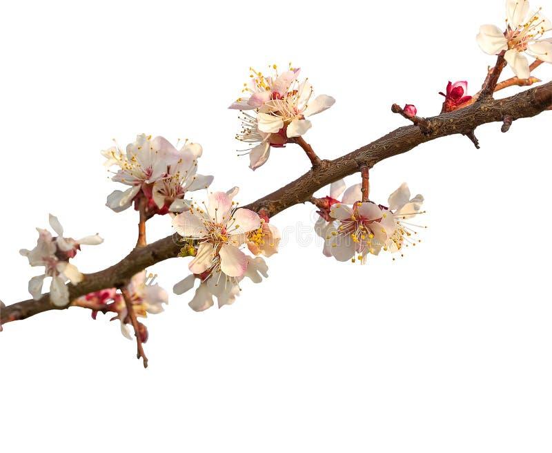 Bloeiende tak van abrikozenboom op een witte achtergrond stock afbeelding
