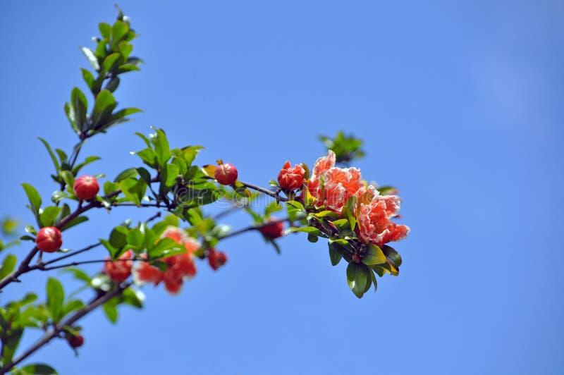 Bloeiende tak van granaatappel stock afbeeldingen