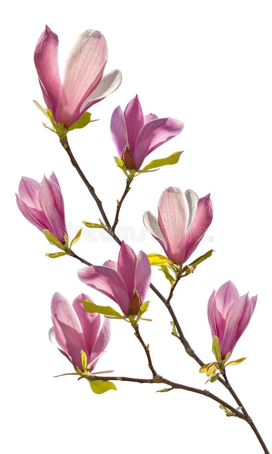 Bloeiende tak van magnolia royalty-vrije stock foto's