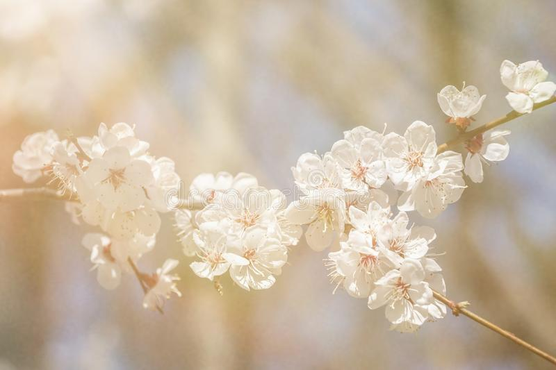 Bloeiende tak van sakura Mooie witte bloemen De tijd van Sring royalty-vrije stock foto's