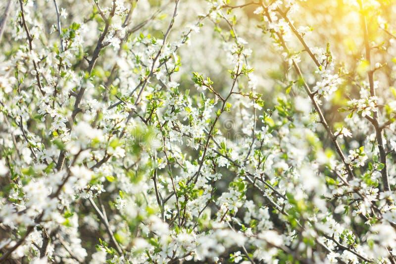 Bloeiende takjes in de lente, met royalty-vrije stock afbeelding