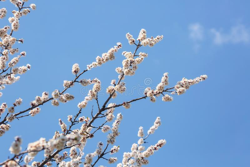 Bloeiende takken van bomen tegen de hemel stock afbeelding