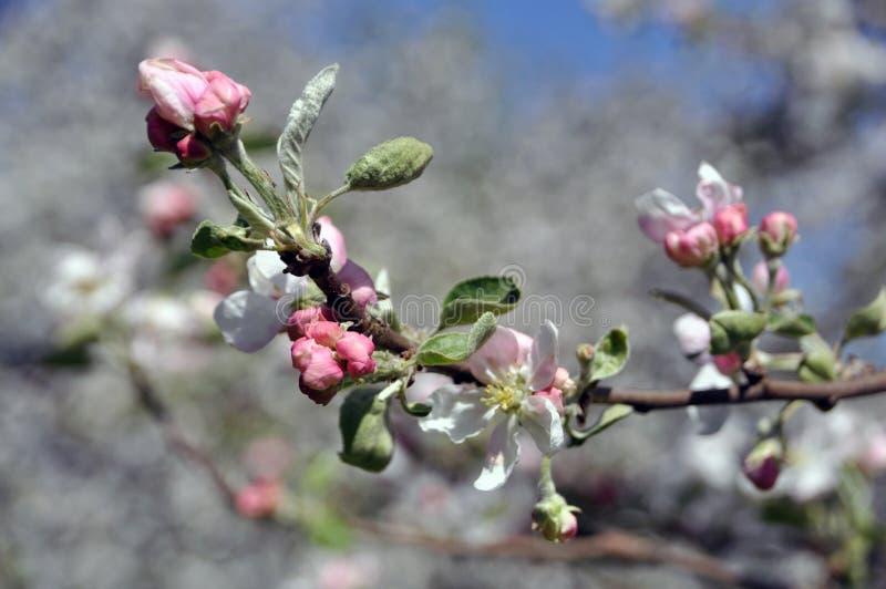Bloeiende takken van een appelboom met witte bloemen en knoppen royalty-vrije stock fotografie