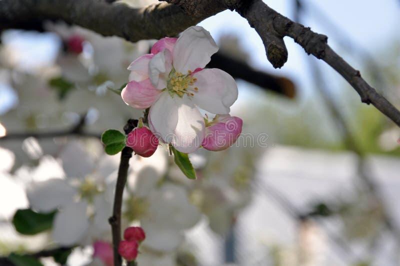 Bloeiende takken van een appelboom met witte bloemen en knoppen royalty-vrije stock foto's