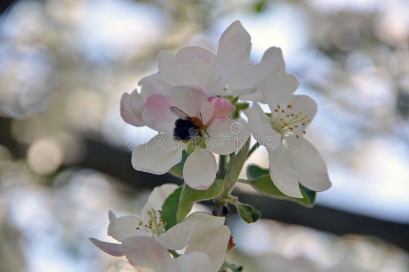Bloeiende takken van een appelboom met witte bloemen en knoppen stock foto's