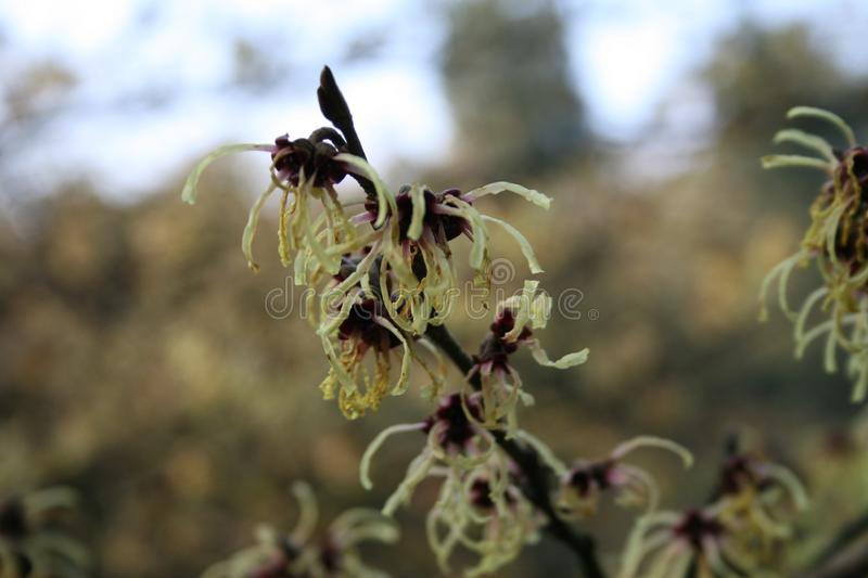 hamamelis or witch hazel flowering in early spring royalty free stock photography