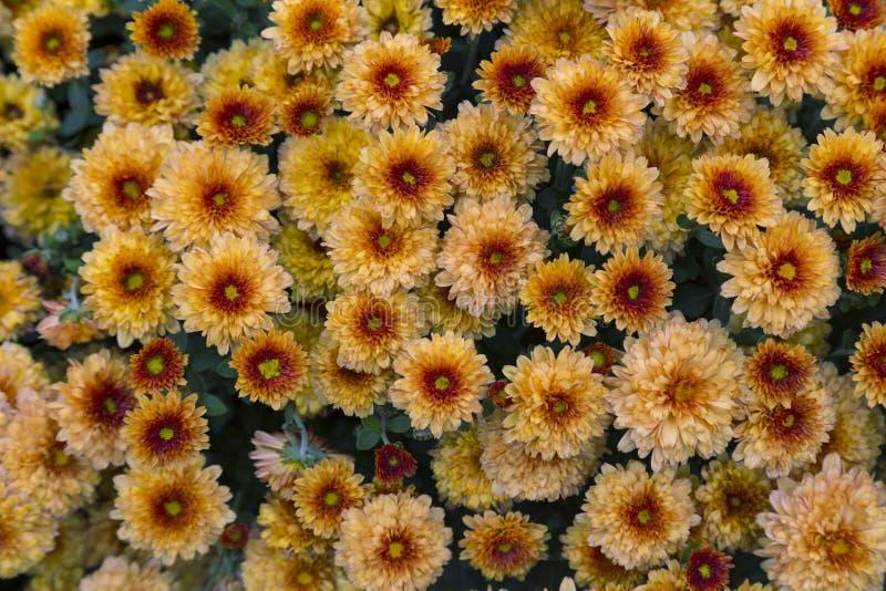 Bloeiende tuinchrysanten, abstracte achtergrond stock foto's