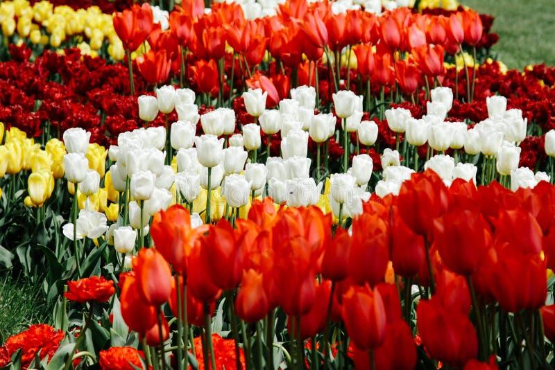 Bloeiende tulpen in een botanische tuin enkel Geregend Multicolored en heldere tulpen stock foto's