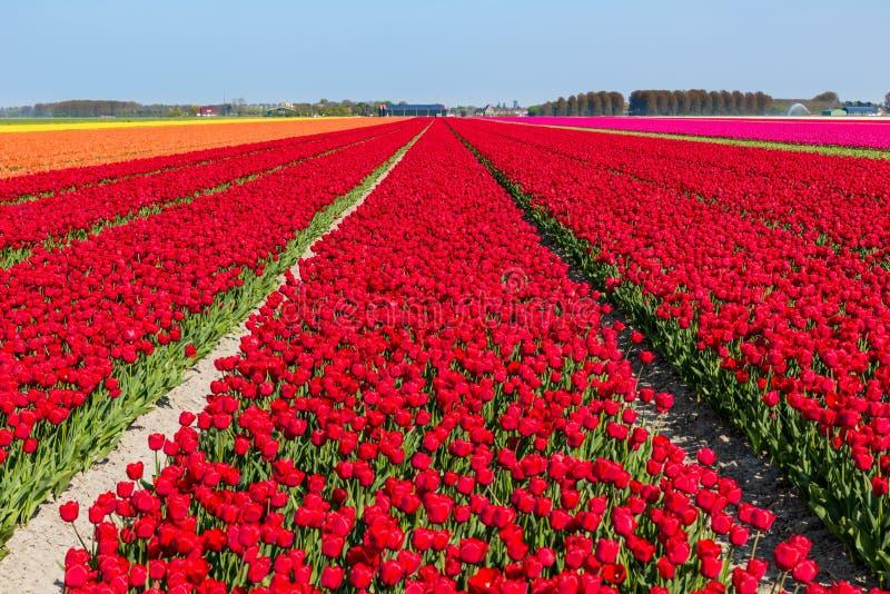 Bloeiende tulpengebieden royalty-vrije stock fotografie