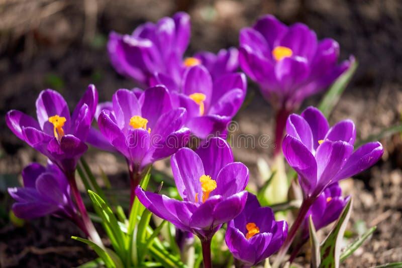 Bloeiende violette Krokussen onder helder zonlicht in vroeg de Lentebos royalty-vrije stock fotografie
