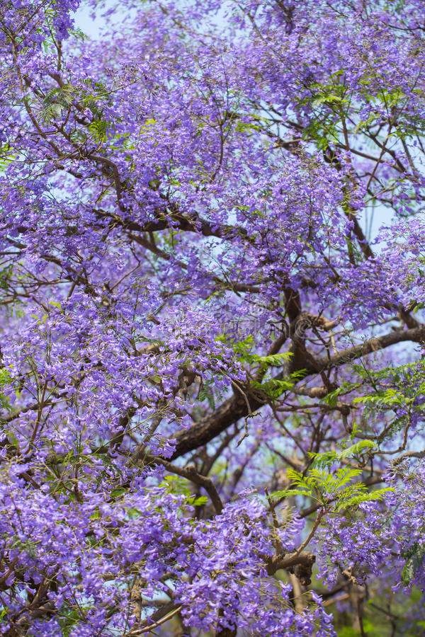 Bloeiende violette takken van Jacaranda-boom royalty-vrije stock foto's
