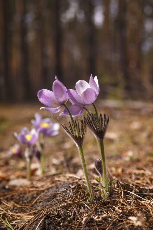 Bloeiende wilde pasque-bloemen in de bosweide stock fotografie
