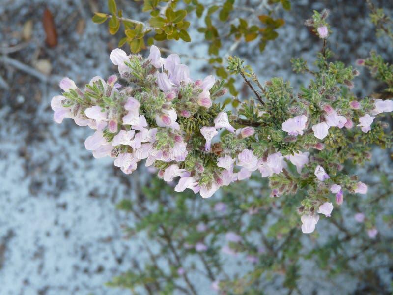 Bloeiende Wilde Rosemary Florida Native Plant stock afbeelding