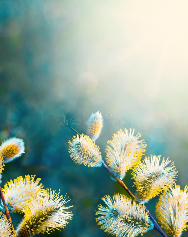 bloeiende wilgenpussy  royalty-vrije stock afbeelding