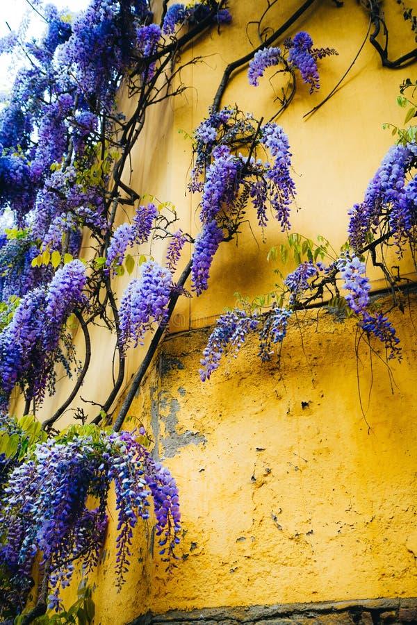 Bloeiende wisteria Blauwe maan van Liana op gele muur Mooie unieke bloemen in de lentetuin op berg Montjuic Barselona Spanje stock afbeelding
