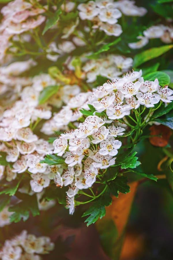 Bloeiende witte Bloemen van struik in Brecon-Bakens het UK stock foto