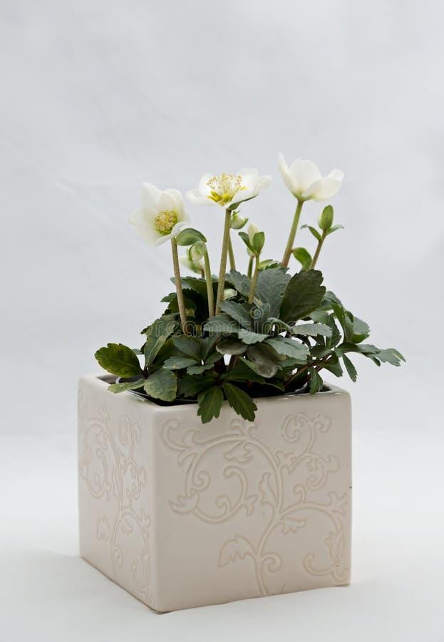 Bloeiende witte helleborebloem in een ceramische pot stock fotografie