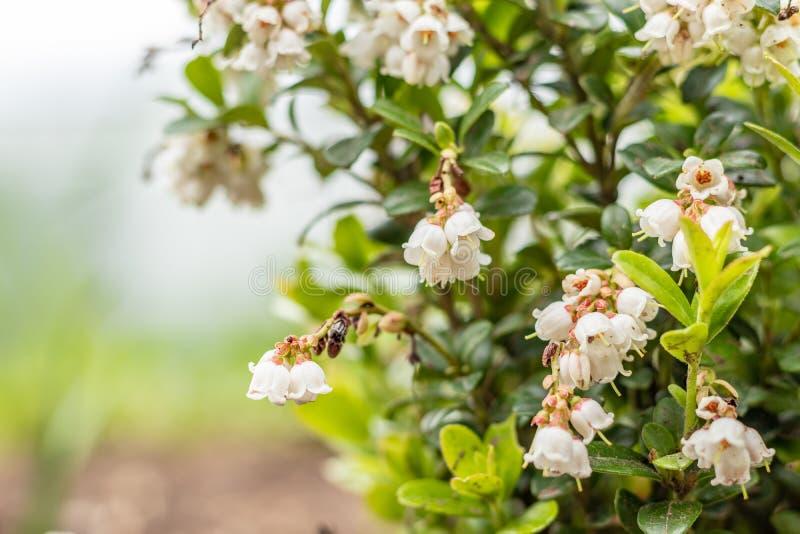 Bloeiende witte klokvormige bloemen, Amerikaanse veenbessen, de lentelandschap Sluit omhoog stock afbeeldingen
