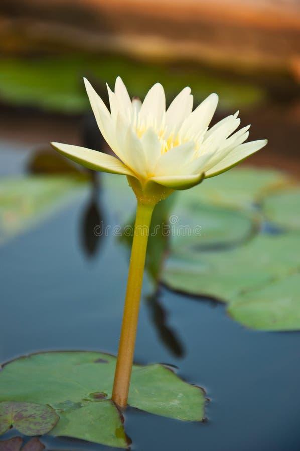 Bloeiende witte lotusbloem stock foto