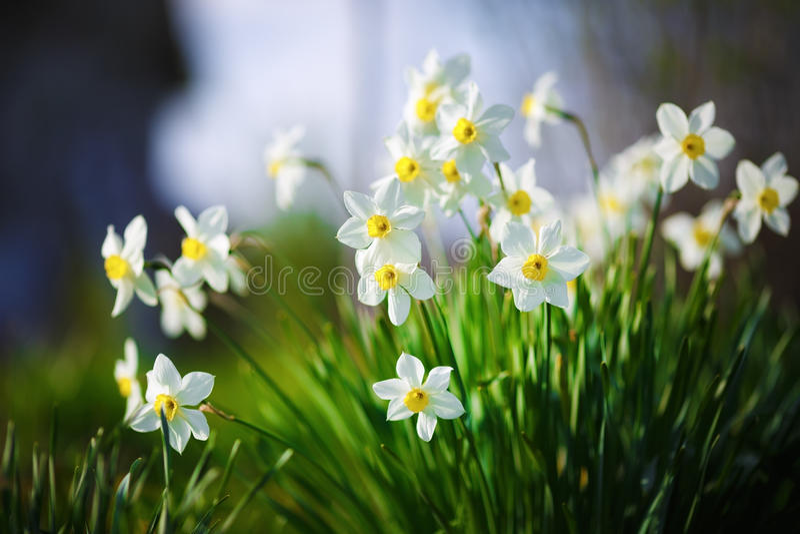 Bloeiende witte narcissen stock foto's