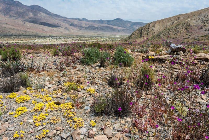 Bloeiende woestijn in de Chileense Atacama-Woestijn royalty-vrije stock afbeeldingen