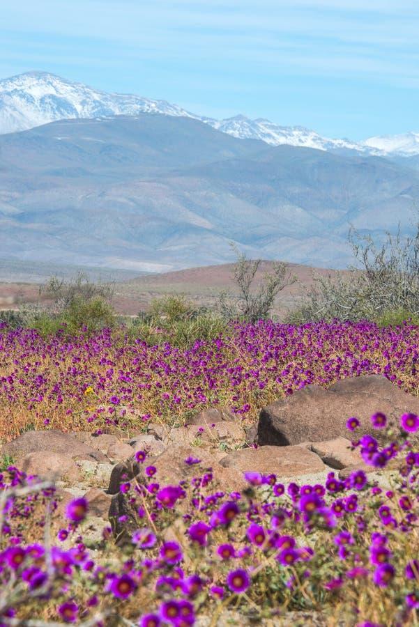 Bloeiende woestijn in de Chileense Atacama-Woestijn stock foto's