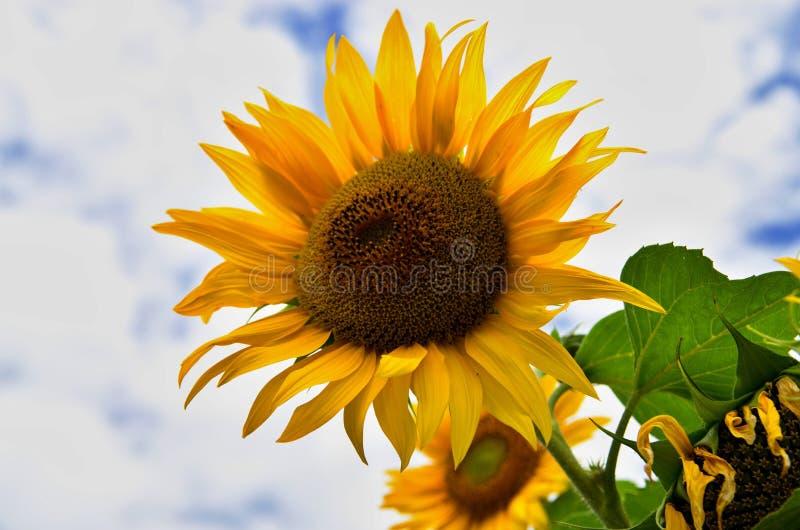 Bloeiende zonnebloem op de achtergrond met blauwe hemel royalty-vrije stock afbeelding