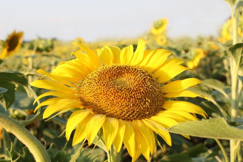 Bloeiende zonnebloem op een achtergrond van blauwe hemel op een zonnebloemgebied stock afbeelding