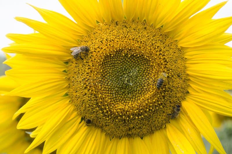 Bloeiende zonnebloembloemblaadjes stock foto's