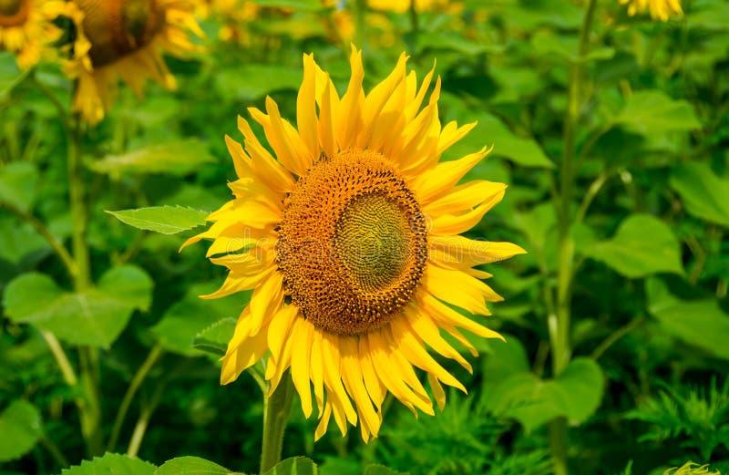 Bloeiende zonnebloemen stock afbeeldingen