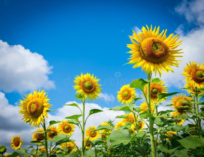 Bloeiende zonnebloemen royalty-vrije stock fotografie