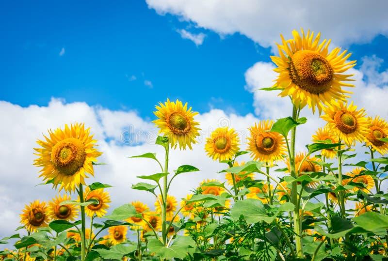 Bloeiende zonnebloemen stock afbeelding