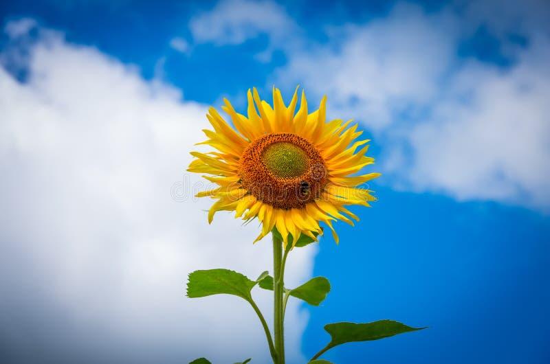 Bloeiende zonnebloemen stock fotografie