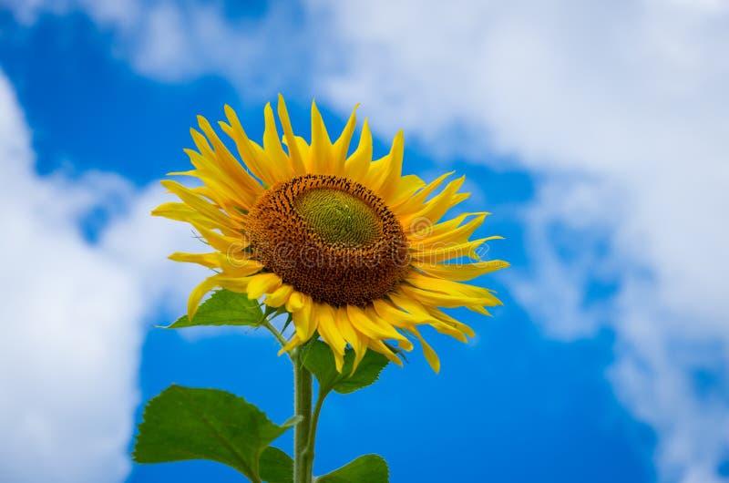 Bloeiende zonnebloemen royalty-vrije stock foto