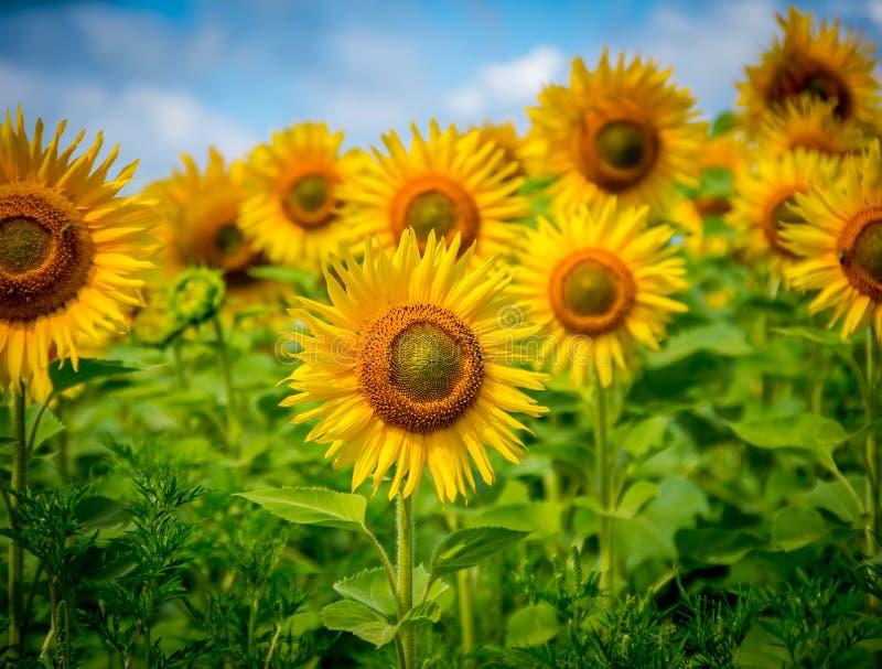 Bloeiende zonnebloemen royalty-vrije stock afbeelding