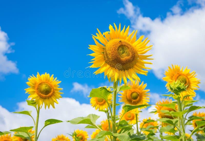 Bloeiende zonnebloemen stock foto