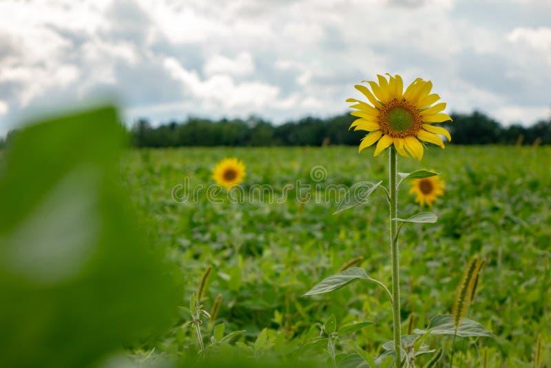 Bloeiende zonnebloemen op een gebied tegen een grijze bewolkte hemel op een de zomerdag royalty-vrije stock afbeeldingen