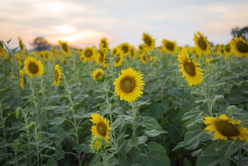 Bloeiende zonnebloemen op gebied bij zonsondergang of schemeringtijdachtergrond stock afbeelding