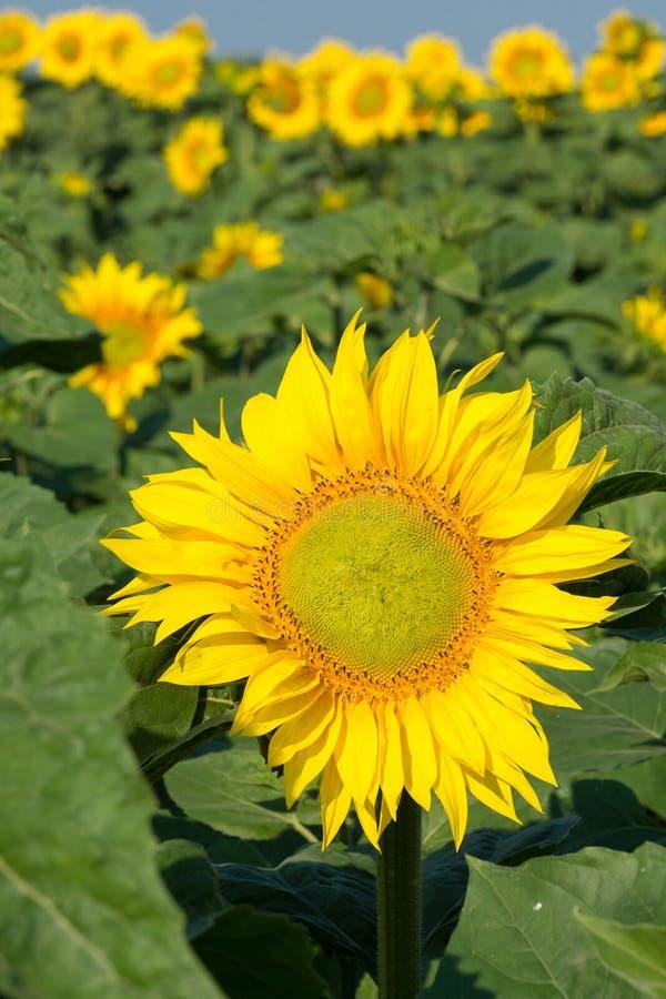 Bloeiende zonnebloemen op het gebied stock foto