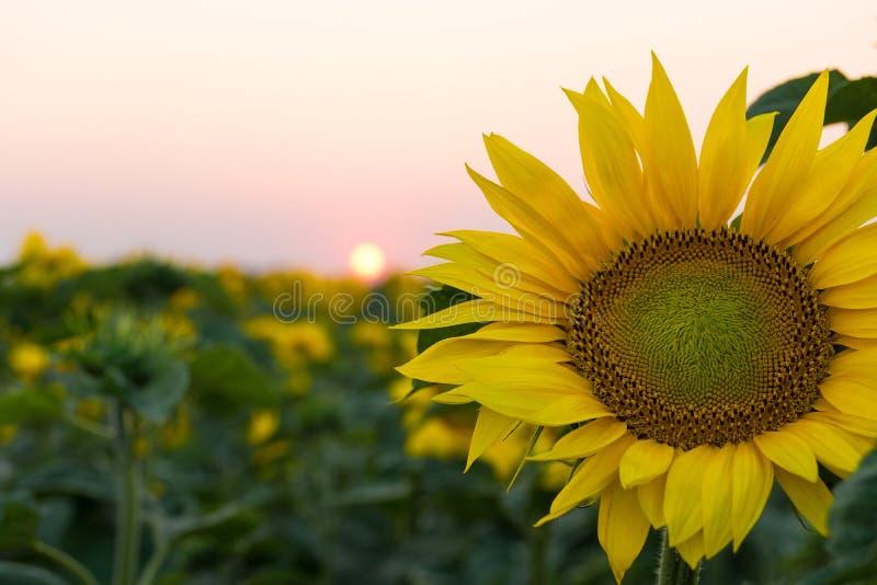 Bloeiende zonnebloemen op het gebied royalty-vrije stock afbeelding