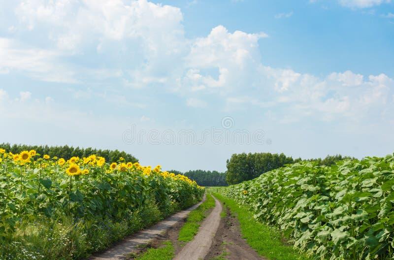 Bloeiende zonnebloemen op het gebied stock afbeelding