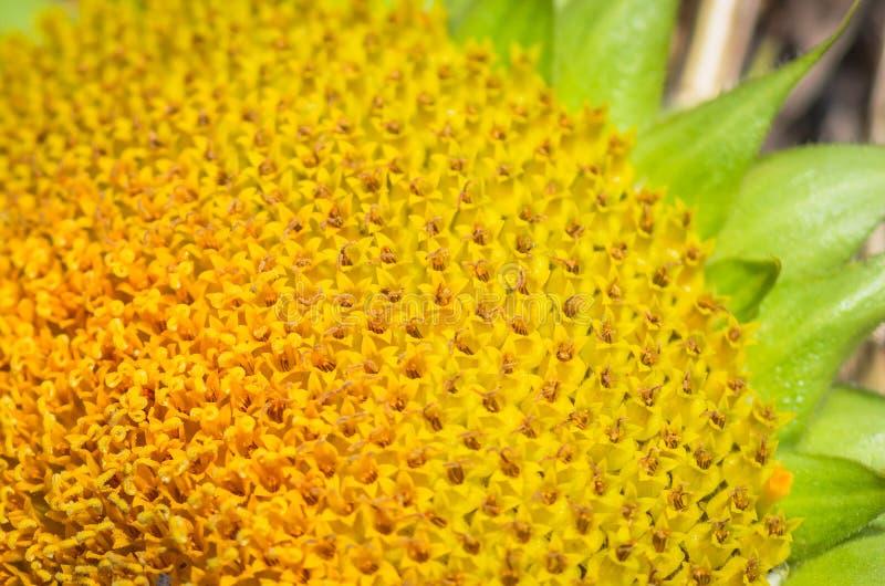 Bloeiende zonnebloemen zeer dicht royalty-vrije stock afbeeldingen