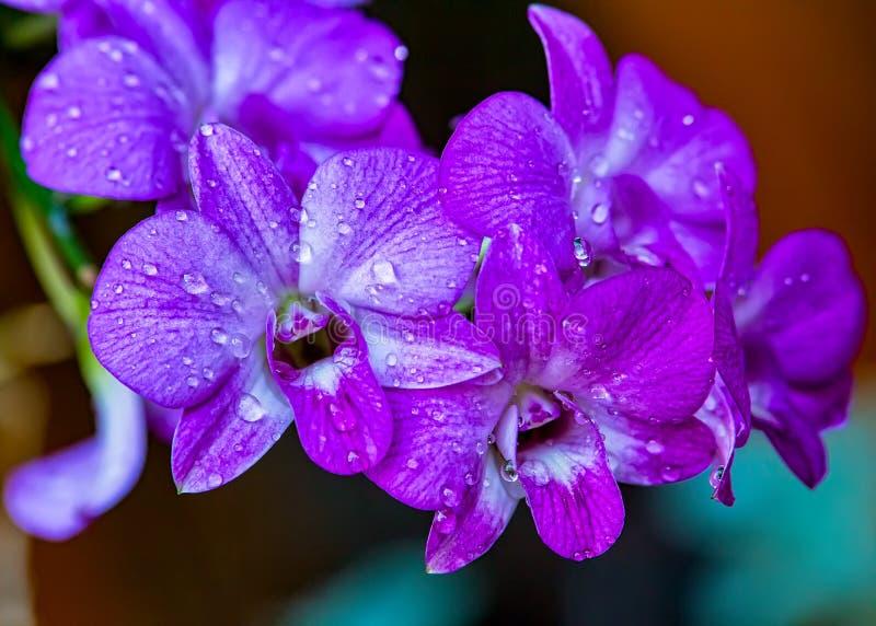 Bloeit de Dendrobium lilac orchidee, boeket van orchidee Dendrobium-sering met waterdruppeltjes in bloemblaadjes in de tuin stock fotografie